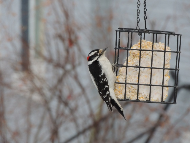 this guy was no challenge: he was attached to the suet feeder for days!