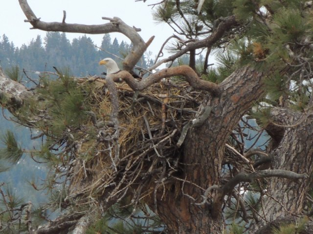 Mom on the nest in April
