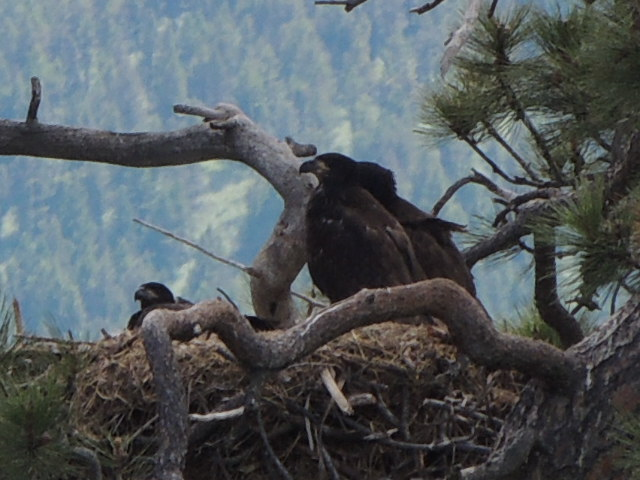 Three eaglets in the nest last week