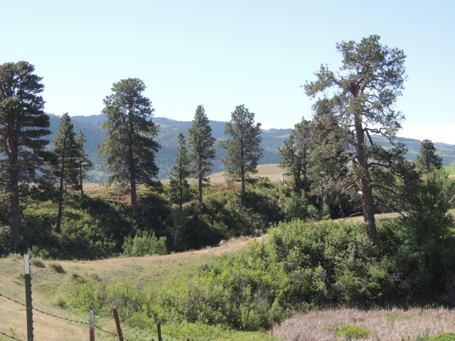 The Craig nest is in the old Ponderosa pine on the right.