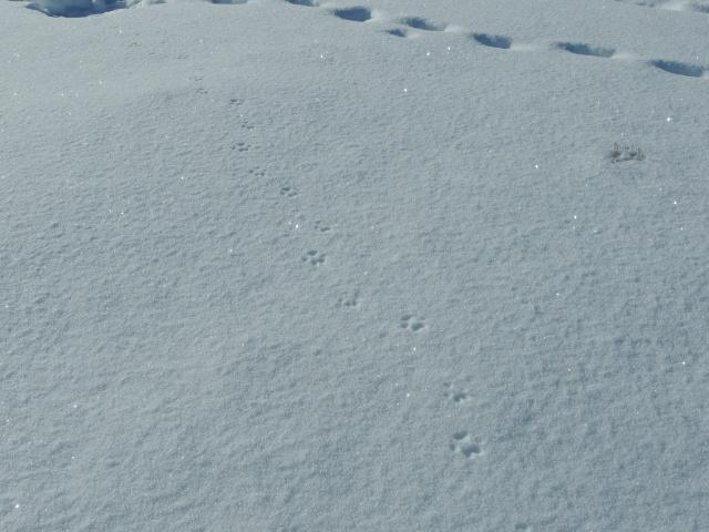Bobcat trail.