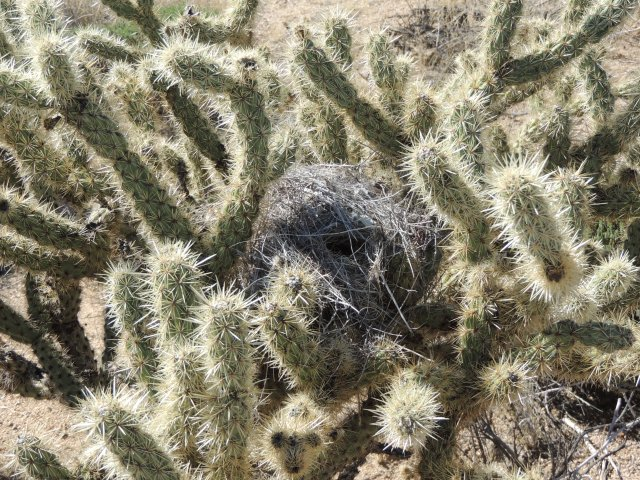 Don't reach for that nest.  Unless you're a cactus wren.