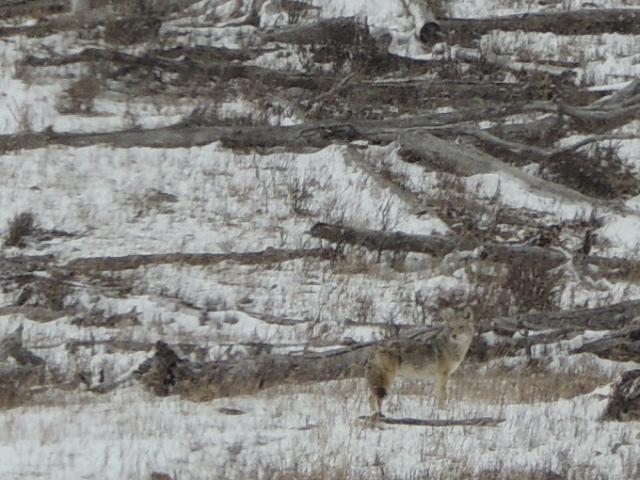 camo coyote 3