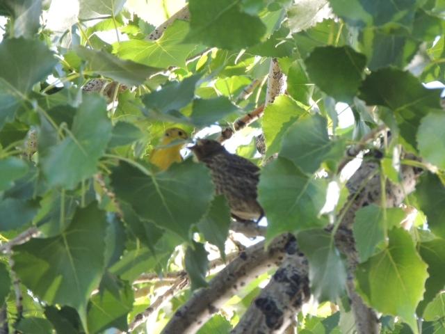Warbler and cowbird (1)